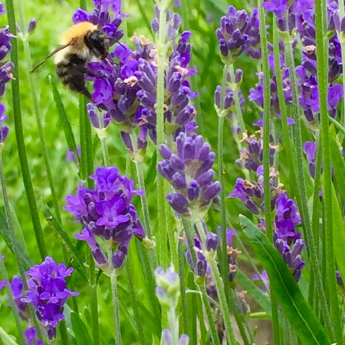 Lavender (and wild flower) Workshop – In a Field by the River Test